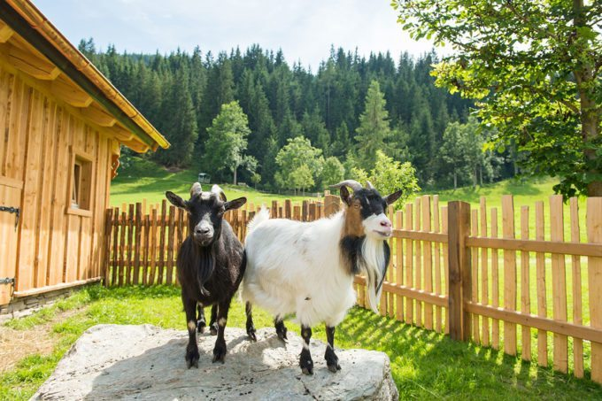 Bauernhoftiere im Hotel Taxerhof - Familienhotel in Radstadt, Salzburger Land